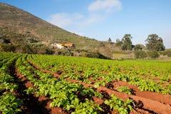 πατάτα φυτών Στοκ εικόνα με δικαίωμα ελεύθερης χρήσης