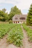 πατάτα φυτών Στοκ Εικόνες