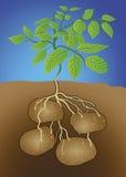 Πατάτα - solanum tuberosum Στοκ Φωτογραφίες