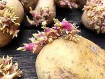 Πατάτες με τους νεαρούς βλαστούς Στοκ Φωτογραφία