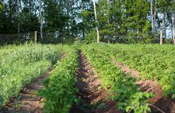 Πατάτες που αυξάνονται στις πράσινες σειρές κήπων Στοκ Εικόνα