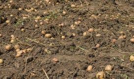 Πατάτες που διασκορπίζονται πέρα από τον τομέα Στοκ Εικόνες