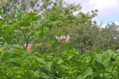 Πατάτες στον κήπο Στοκ φωτογραφίες με δικαίωμα ελεύθερης χρήσης