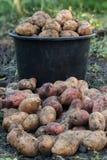 Πατάτες συγκομιδών στο υπόβαθρο του κάδου Στοκ εικόνες με δικαίωμα ελεύθερης χρήσης