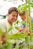 Πατέρας και γιος που συγκομίζουν τις εγχώριο ντομάτες στο θερμοκήπιο Στοκ εικόνα με δικαίωμα ελεύθερης χρήσης