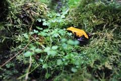 Παφλασμός-πίσω βάτραχος δηλητήριων Στοκ Φωτογραφίες