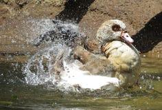 Παφλασμός Splish! Στοκ εικόνα με δικαίωμα ελεύθερης χρήσης
