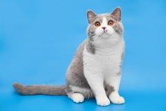 Παχιά δίχρωμη βρετανική γάτα σε ένα μπλε υπόβαθρο Στοκ εικόνες με δικαίωμα ελεύθερης χρήσης