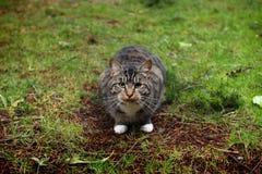 Παχιά γάτα Στοκ Εικόνες