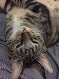Παχιά γάτα Στοκ Φωτογραφία