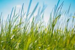 Παχιά πράσινη πλούσια χλόη στον τομέα πρωινού στοκ εικόνες
