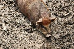 Παχιοί χοίροι που χαλαρώνουν στο αγρόκτημα Στοκ Εικόνες