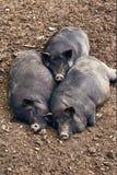 Παχιοί χοίροι που χαλαρώνουν στο αγρόκτημα Στοκ Εικόνα
