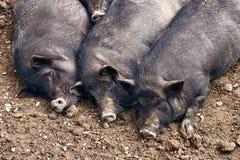 Παχιοί χοίροι που χαλαρώνουν στο αγρόκτημα Στοκ φωτογραφίες με δικαίωμα ελεύθερης χρήσης