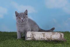 Παχουλό βρετανικό παιχνίδι χρώματος γατακιών μπλε στο χορτοτάπητα Στοκ Εικόνες