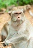 παχύς πίθηκος Στοκ Εικόνες