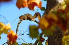 Παχύς σκίουρος αλεπούδων Στοκ Φωτογραφίες