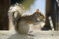 Παχύς σκίουρος που τρώει ένα καρύδι Στοκ Εικόνα