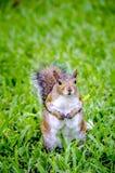 παχύς σκίουρος Στοκ εικόνες με δικαίωμα ελεύθερης χρήσης
