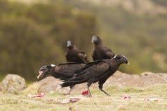 Παχύς-τιμολογημένο κοράκι (crassirostris Corvus) στοκ φωτογραφία με δικαίωμα ελεύθερης χρήσης
