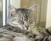 Παχύς ύπνος γατών στο χρόνο ημέρας στο υπόβαθρο θαμπάδων, παχύς ευτυχής στενός επάνω γατών, γατάκι που στηρίζεται στο χρόνο ημέρα Στοκ Εικόνες