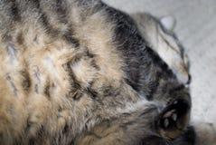 παχύς ύπνος γατών Στοκ Εικόνες