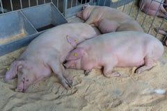 Παχύς ύπνος χοίρων στο αγρόκτημα Στοκ Φωτογραφίες