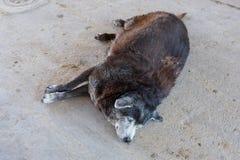 Παχύσαρκος ύπνος σκυλιών Στοκ φωτογραφία με δικαίωμα ελεύθερης χρήσης