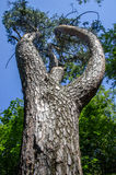 Παχύ δέντρο πεύκων ενάντια στον ουρανό Στοκ εικόνες με δικαίωμα ελεύθερης χρήσης