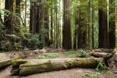 Παχύ δάσος Redwood στοκ φωτογραφία