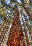 Παχύ δέντρο με τον ενδιαφέροντα φλοιό που ανατρέχει στοκ εικόνα με δικαίωμα ελεύθερης χρήσης