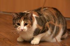 Παχύ να βρεθεί γατών κατοικίδιων ζώων τρεις-χρώματος Στοκ Εικόνα