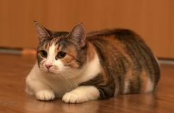 Παχύ να βρεθεί γατών κατοικίδιων ζώων τρεις-χρώματος Στοκ φωτογραφία με δικαίωμα ελεύθερης χρήσης