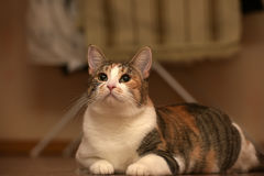 Παχύ να βρεθεί γατών κατοικίδιων ζώων τρεις-χρώματος Στοκ Φωτογραφία