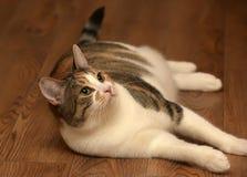 Παχύ να βρεθεί γατών κατοικίδιων ζώων τρεις-χρώματος Στοκ Εικόνες