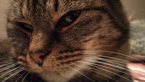 Παχύ πρόσωπο γατών στοκ φωτογραφίες