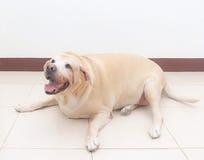 Παχύ σκυλί του Λαμπραντόρ στο πάτωμα Στοκ φωτογραφία με δικαίωμα ελεύθερης χρήσης