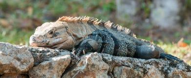 Παχύ iguana Στοκ Εικόνες