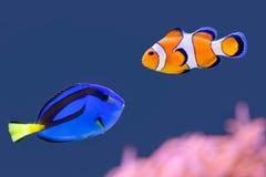 Παλέτα surgeonfish και ψάρια κλόουν που κολυμπούν από κοινού Στοκ Εικόνες