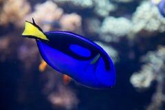 Παλέτα surgeonfish Στοκ Εικόνες