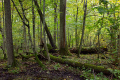 Παλαιά δέντρα τέφρας που σπάζουν να βρεθεί το φθινόπωρο Στοκ Φωτογραφίες