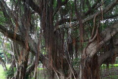 Παλαιά δέντρα Banyan Στοκ Εικόνες