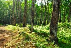 Παλαιά λαστιχένιο δέντρο, λάστιχο και καουτσούκ, λαστιχένιο τρύπημα Στοκ Εικόνα