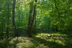 Παλαιά βαλανιδιές και hornbeams δέντρο στη θερινή αποβαλλόμενη στάση Στοκ Εικόνα