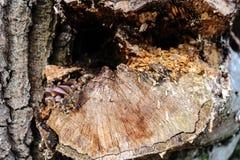 Παλαιά διάσπαση με ένα δέντρο τσεκουριών με την ανώμαλη δομή Καυσόξυλο, φωτογραφισμένη κινηματογράφηση σε πρώτο πλάνο Μικρό βάθος Στοκ Εικόνες