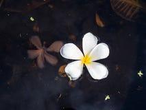 Παλαιά και νέα λουλούδια Plumeria Στοκ εικόνες με δικαίωμα ελεύθερης χρήσης