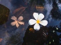 Παλαιά και νέα λουλούδια Plumeria Στοκ φωτογραφίες με δικαίωμα ελεύθερης χρήσης