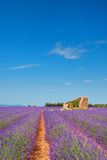 Παλαιά καταστροφή Lavender στους τομείς Στοκ Εικόνες