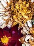 Παλαιά νεκρά λουλούδια Στοκ εικόνα με δικαίωμα ελεύθερης χρήσης