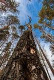 Παλαιά ξηρά σημύδα Στοκ φωτογραφία με δικαίωμα ελεύθερης χρήσης